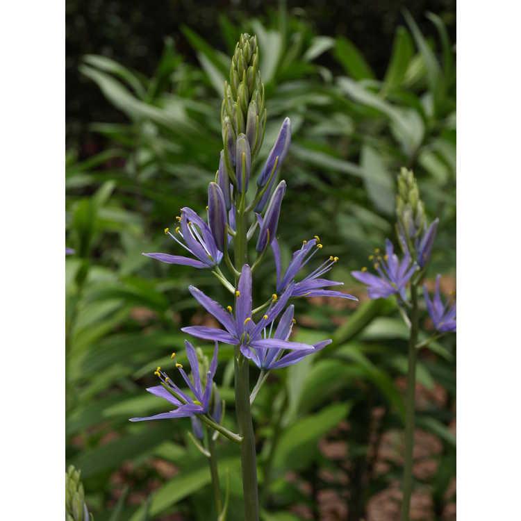 Camassia quamash - camas-lily