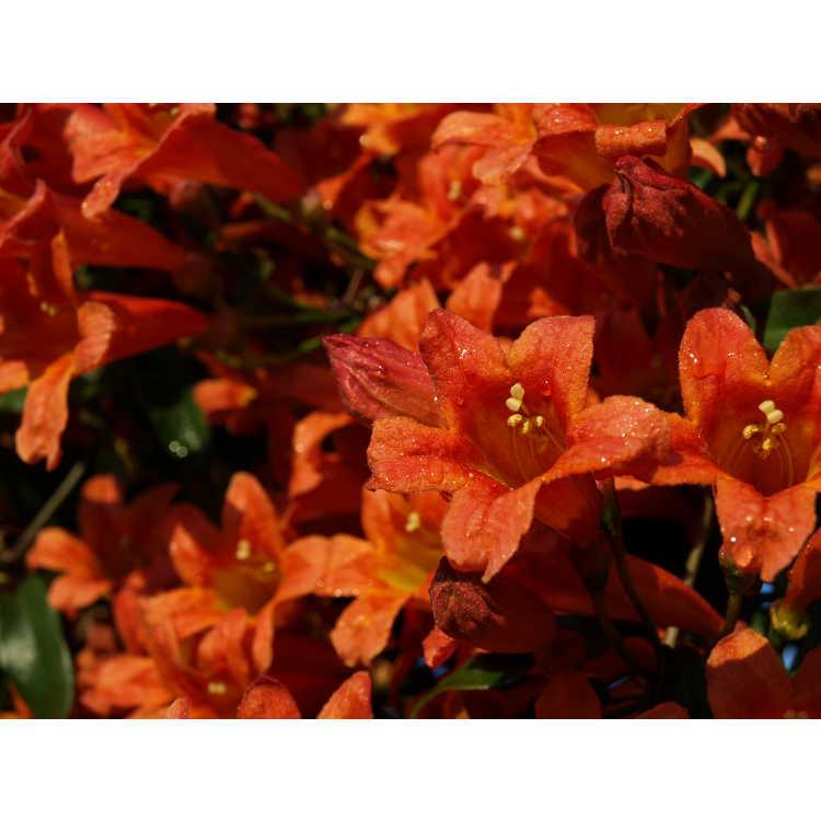 Bignonia capreolata 'Jekyll'