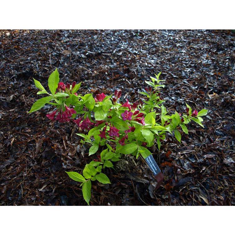 Weigela japonica 'Dart's Colourdream'