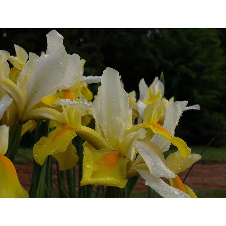 Iris 'Symphony'