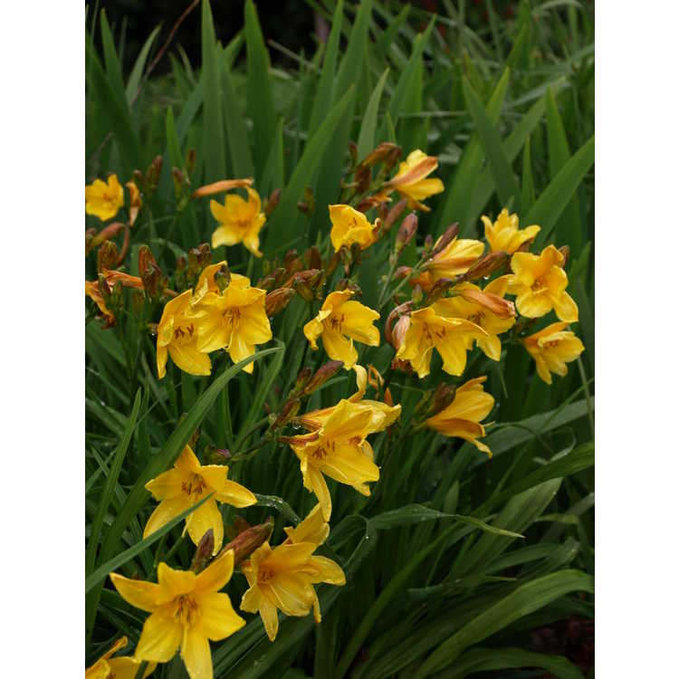 Hemerocallis dumortieri - early daylily