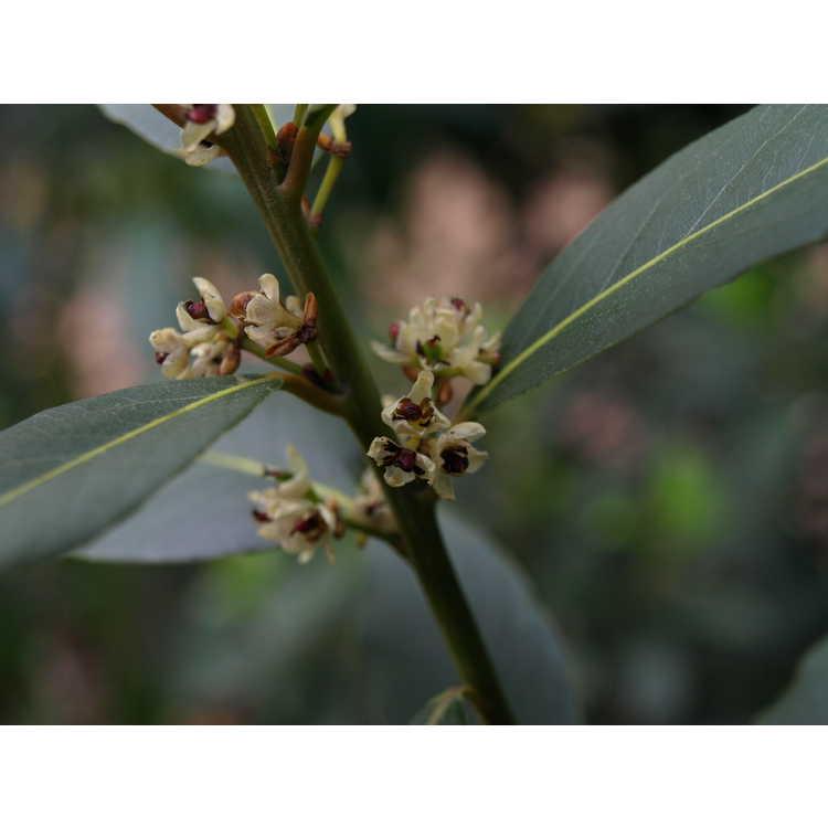 Laurus nobilis × Umbellularia californica