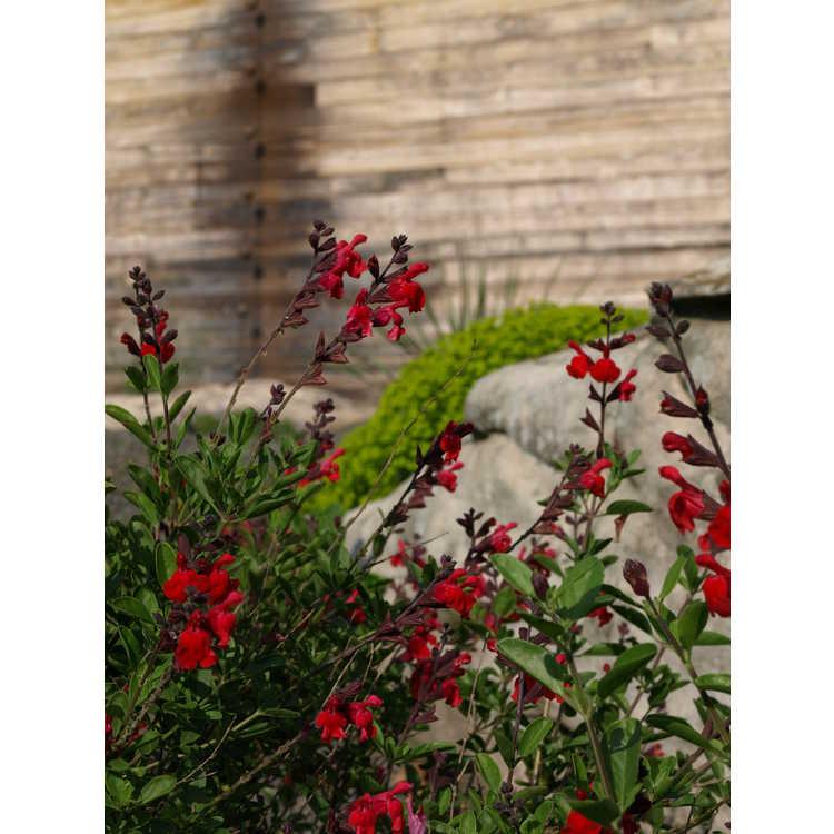 Salvia greggii 'Flame' - autumn sage