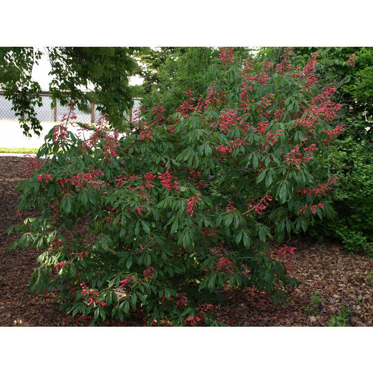 Aesculus pavia 'Humilis' - dwarf red buckeye