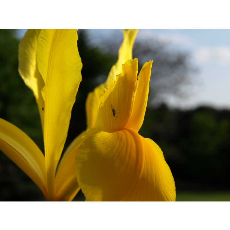 Iris 'Golden Beauty'