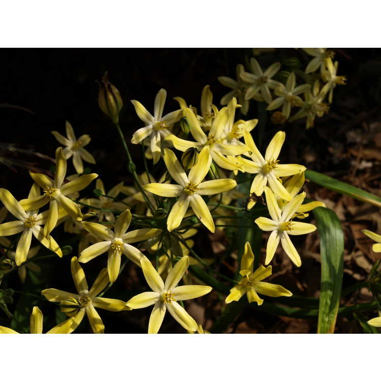Triteleia ixioides 'Starlight' - pretty-face