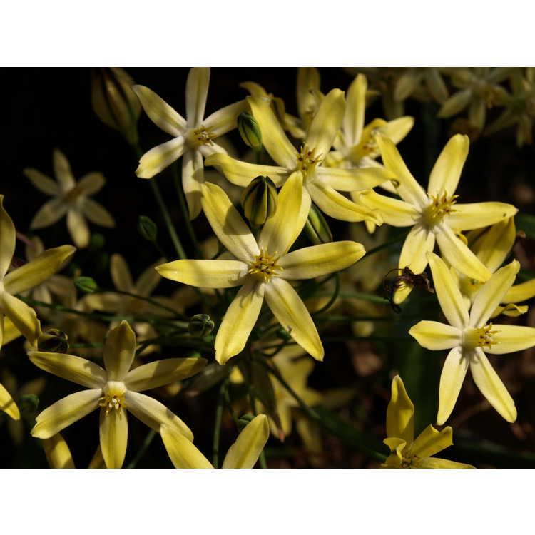 Triteleia ixioides 'Starlight'