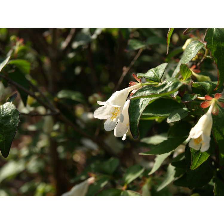 Abelia spathulata - twin-flowering abelia