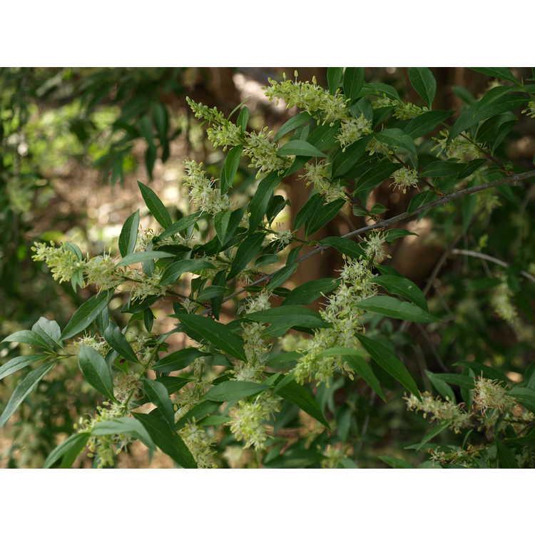 Fontanesia phillyreoides fortunei Titan