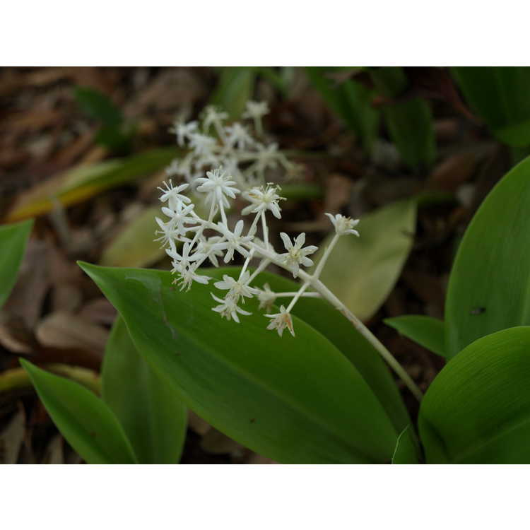 Speirantha gardenii - evergreen lily-of-the-valley