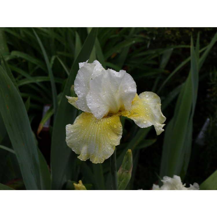 Iris 'Melted Butter'