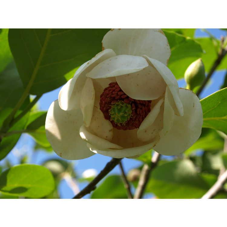 Magnolia sieboldii Colossus