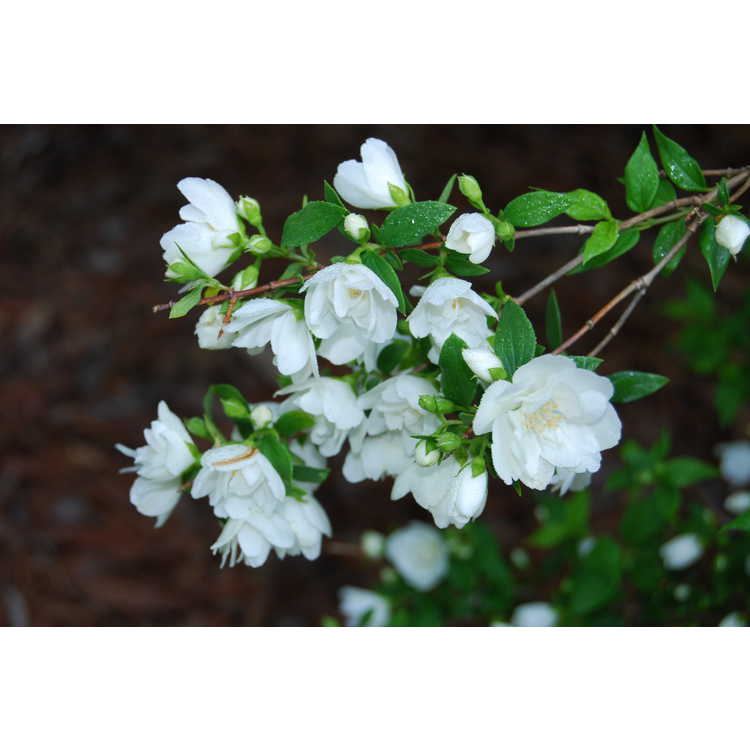 Philadelphus 'Manteau d'Hermine' - mock-orange