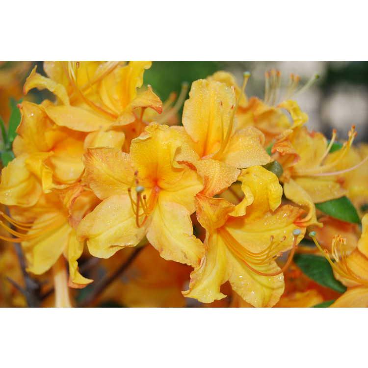 Rhododendron 'Sunrise'