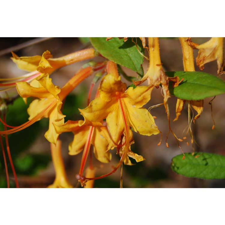 Rhododendron austrinum Lisas Gold
