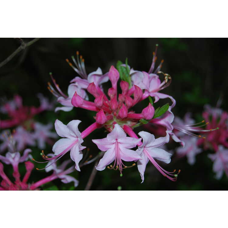 Rhododendron canescens 'Varnadoes Phlox Pink'