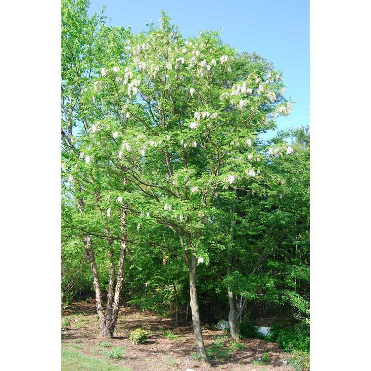 Robinia pseudoacacia Bessoniana