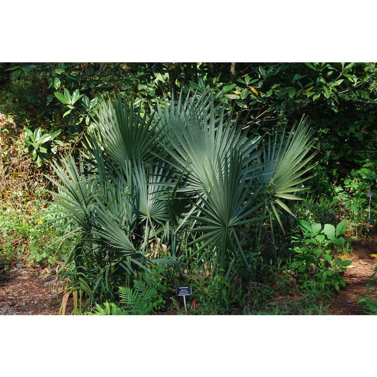Sabal minor - dwarf palmetto