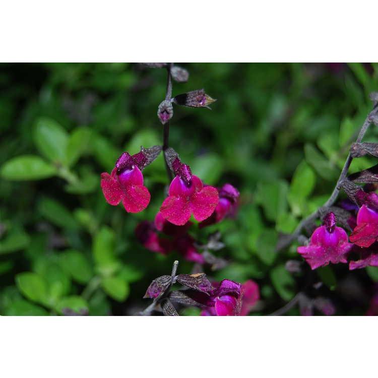 Salvia greggii 'Diane' - autumn sage