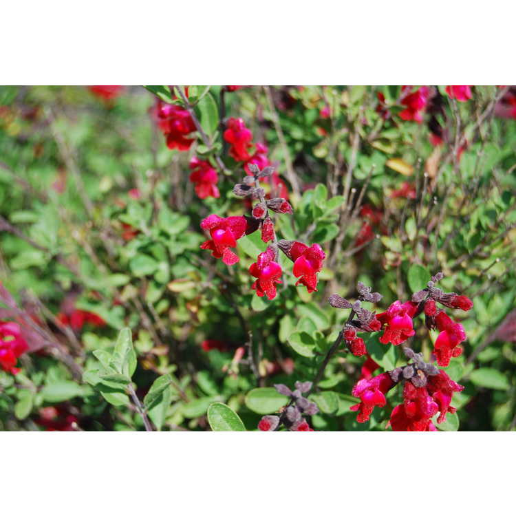 Salvia greggii Flame
