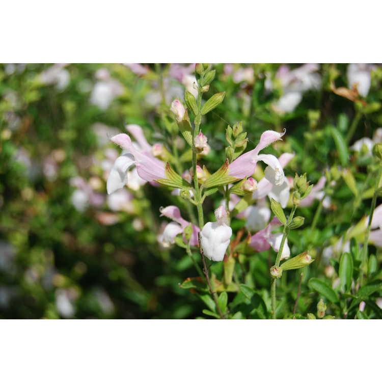 Salvia greggii 'Teresa'