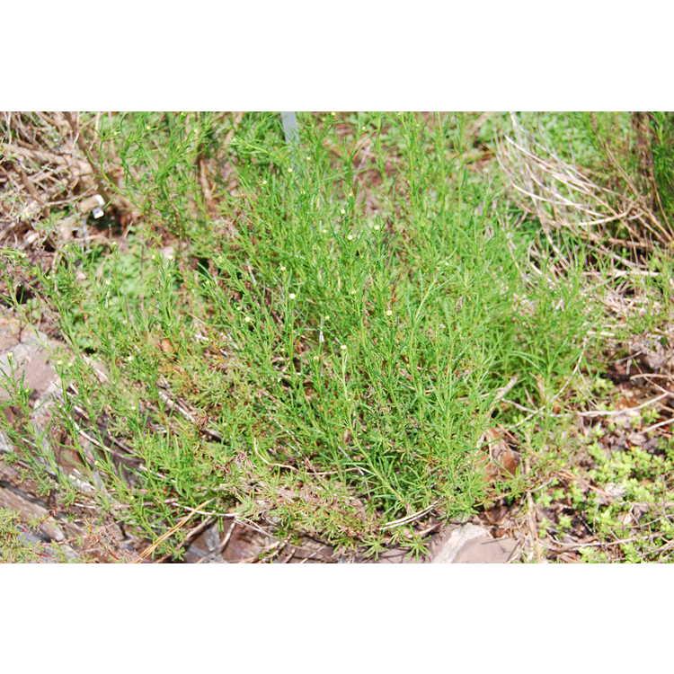 Santolina virens - green lavender cotton