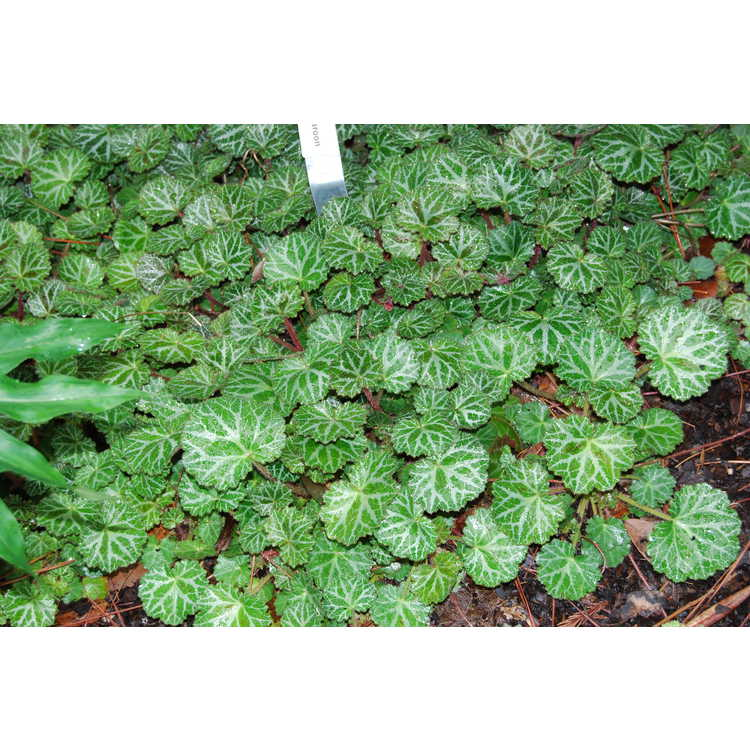 Saxifraga stolonifera 'Maroon Beauty' - strawberry geranium