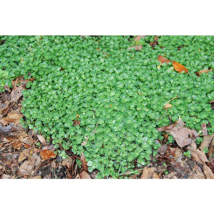 Sedum spurium 'John Creech' - Caucasian stonecrop