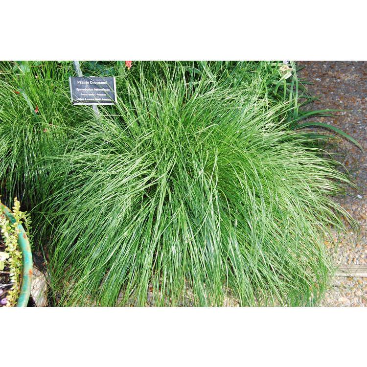 Sporobolus heterolepis - prairie dropseed