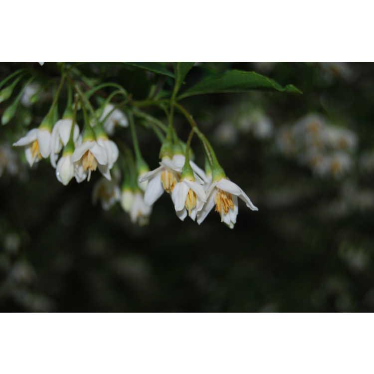 Styrax japonicus 'Snowfall' - Japanese snowbell