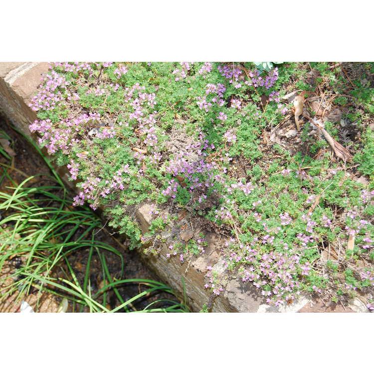Thymus serpyllum 'Pink Chintz' - pink wild thyme