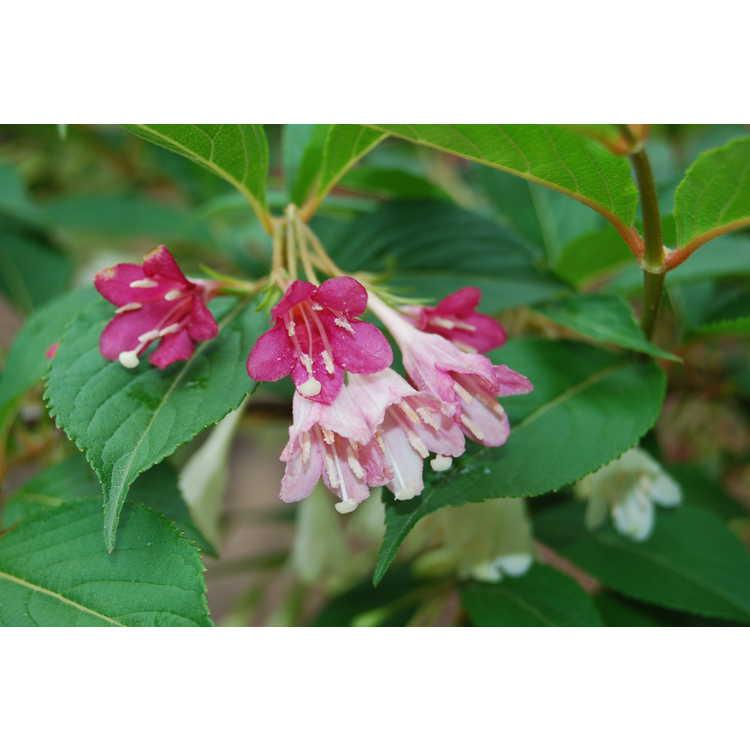 Weigela amagiensis - Japanese cardinal shrub