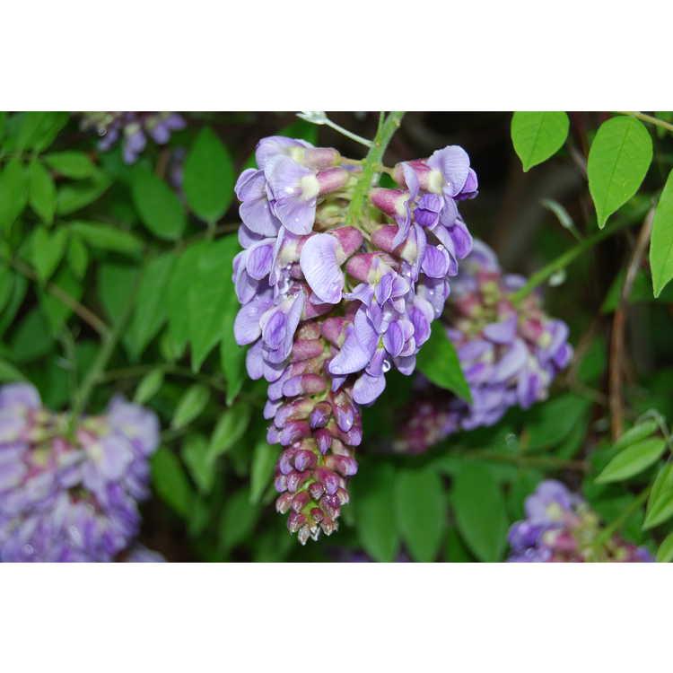 Wisteria frutescens 'Lynn Lowrey'