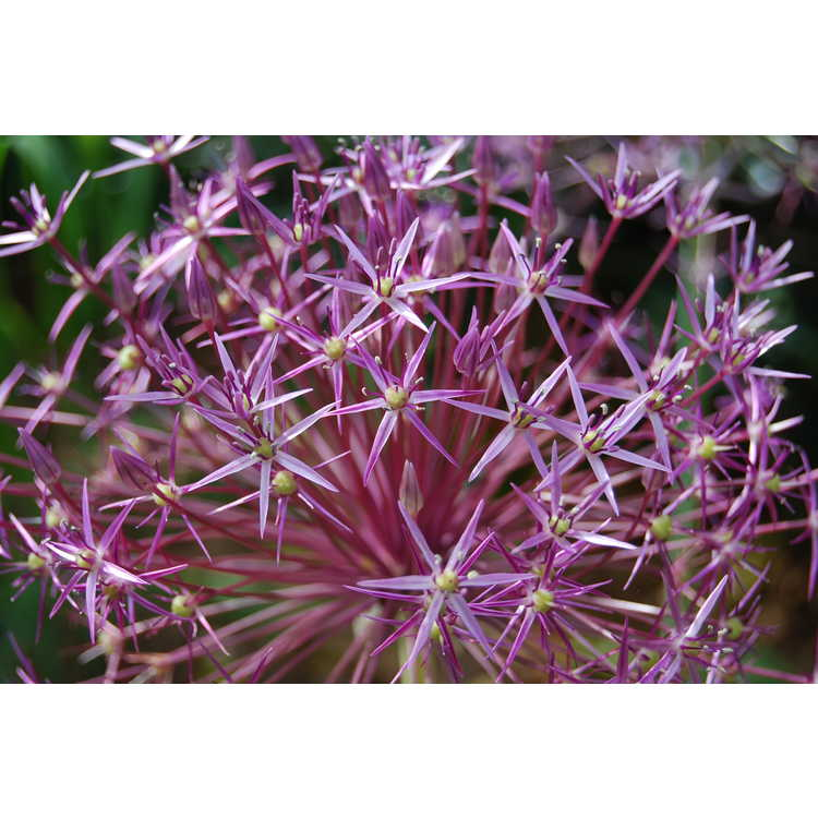 Allium cristophii - star of Persia