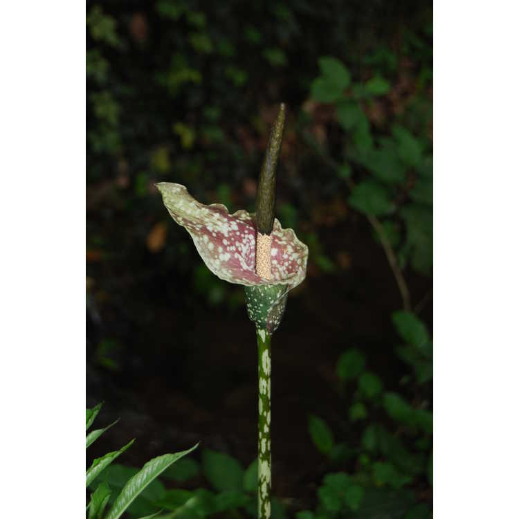 Amorphophallus kiusianus