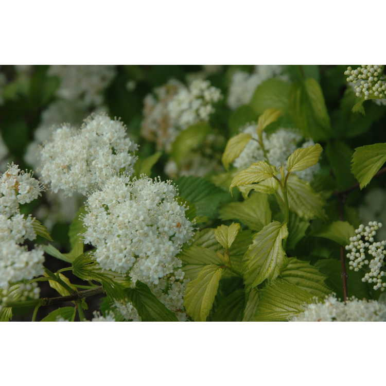 Viburnum dentatum 'Golden Arrow' - golden Southern arrowwood