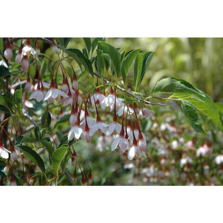 Styrax japonicus Rubra Pendula Group - weeping pink Japanese snowbell