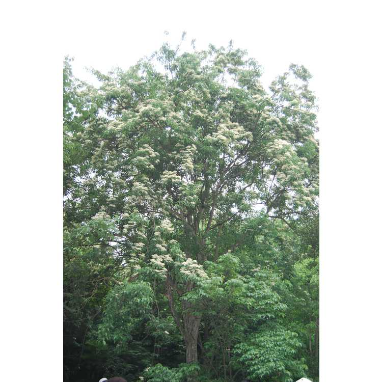Cornus-wilsoniana-001-Hangzhou-Botanic-Garden-5-23-08.JPG