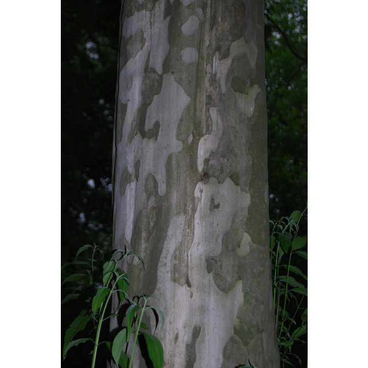 Cornus-wilsoniana-003-Hangzhou-Botanic-Garden-5-23-08.JPG