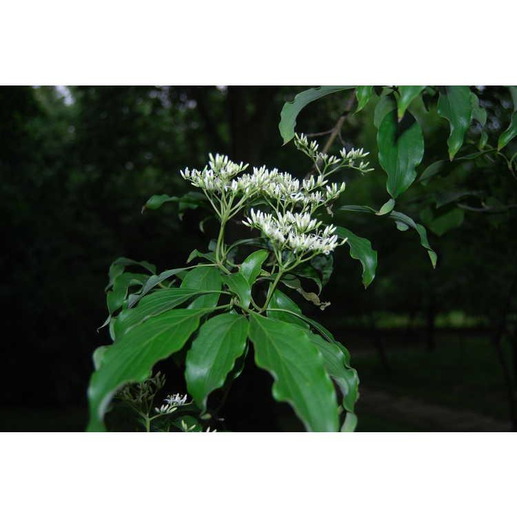 Cornus-wilsoniana-004-Hangzhou-Botanic-Garden-5-23-08.JPG