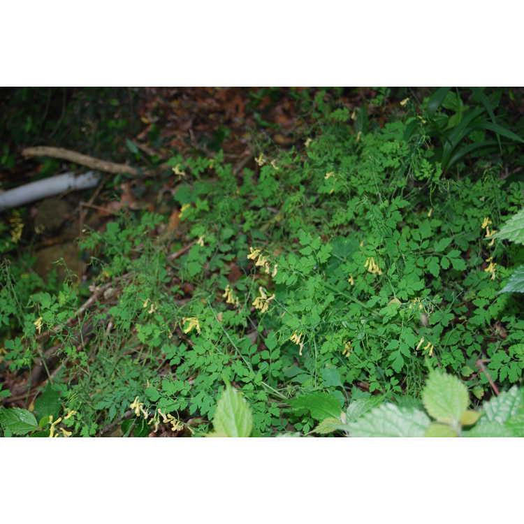 Corydalis-002-Putoushan-5-26-08.JPG
