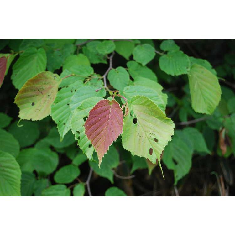 Corylus-heterophylla-var-sutchuensis-002-Tianmushan-5-30-08.JPG