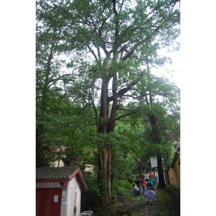 Ginkgo biloba - maidenhair tree