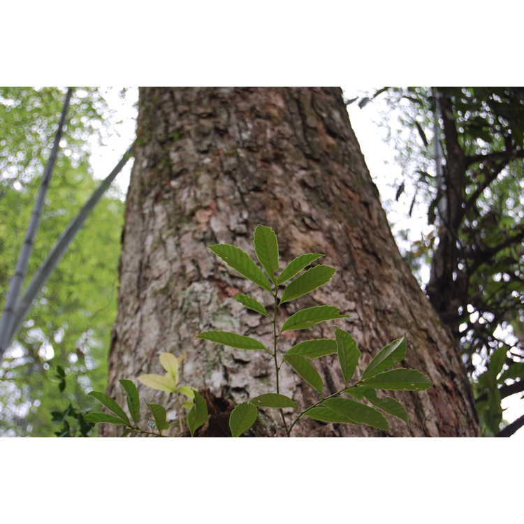 Castanopsis sclerophylla - Chinese tan-bark oak