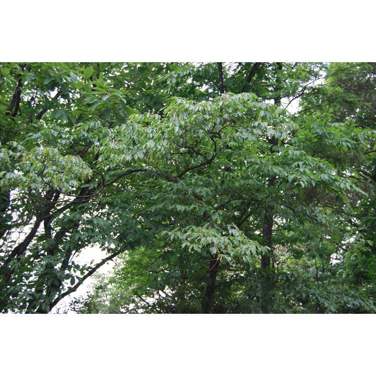 Carpinus tschonoskii - Yeddo hornbeam