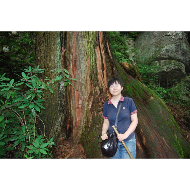 Cryptomeria japonica var. sinensis - Chinese-cedar