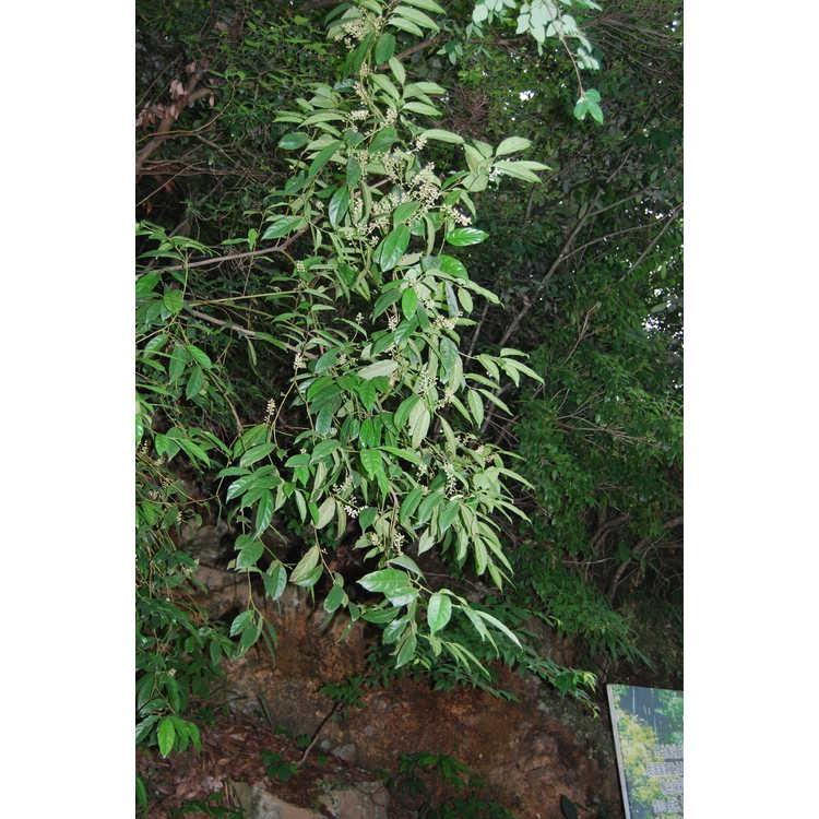 Itea chinensis - Chinese sweetspire