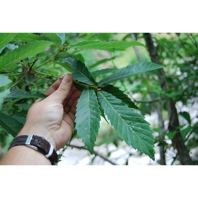 Quercus serrata - Konara oak