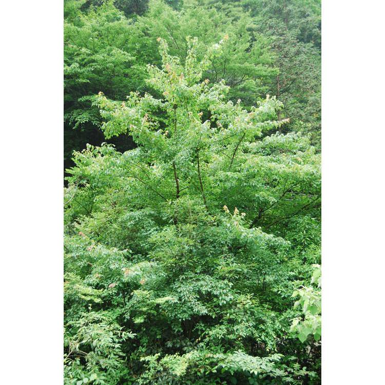 Acer buergerianum - trident maple