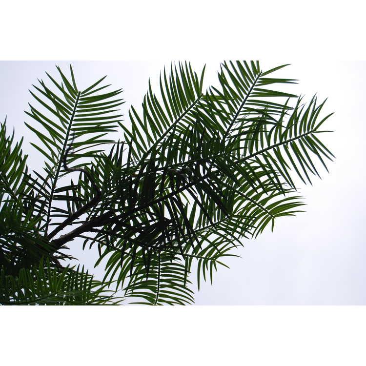 Cephalotaxus sinensis - Chinese plum-yew